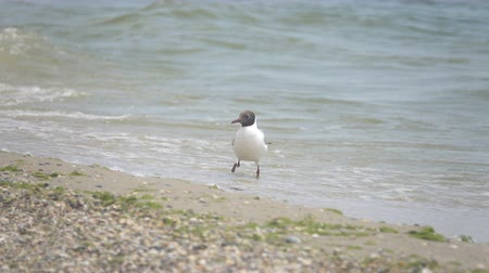 захват : The gull eats crustaceans on the shore