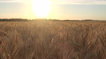 sementes : Harvest of ripe wheat on the field