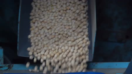 peas : Sorting pea seed on the elevator Stock Footage