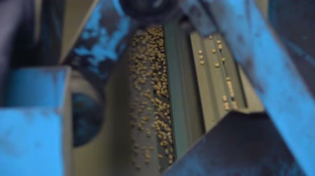 горошек : Sorting pea seed on the elevator. Slow Motion