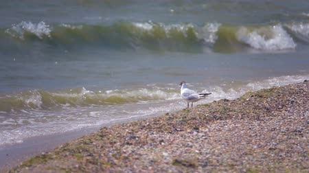 gaivota : Seagull by the sea. Slow Motion Stock Footage