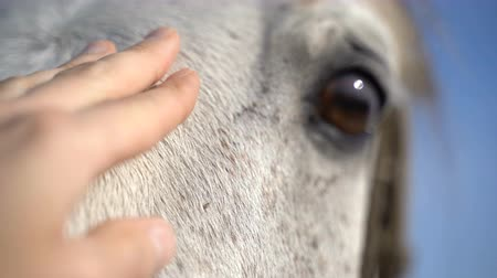 soluma : White horse on the farm. Close-up