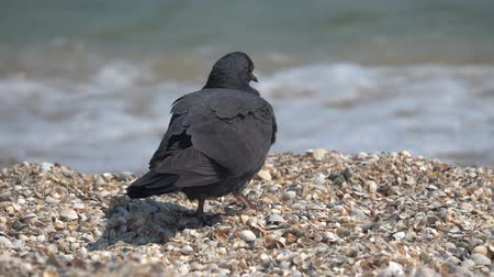 beak : Dove on the sandy seashore of the Black Sea. Slow motion