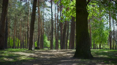 natura : Forest trees. nature green wood sunlight backgrounds outdoors Wideo