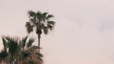 monção : Isolated lonely palm tree against gray cloudy sky. Palm tree leaves moving in wind. Front view of green palm. Coconut tree waving in sky. Tropical tree in cloudy sky