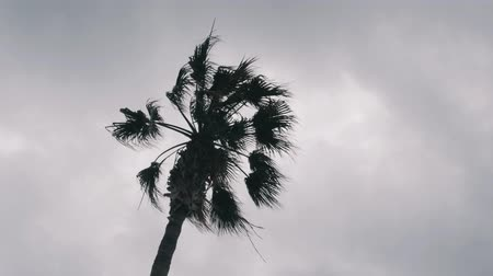 monção : Isolated palm tree against gray cloudy sky. Palm tree leaves swaying in wind. Bottom view of palm tree