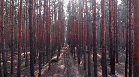 ekosistem : Drone flying among the pines trees, aerial shot. Flight inside pine trees forest. Drone footage of pine forest Stok Video