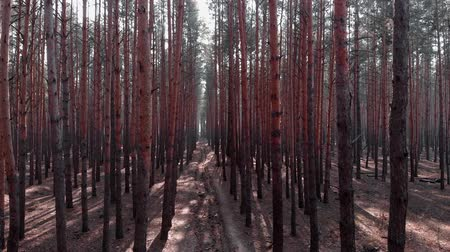 ekosistem : Drone flight inside polluted pine forest. Drone flies among pine trees. Flying above path among old trees in forest with polluted area