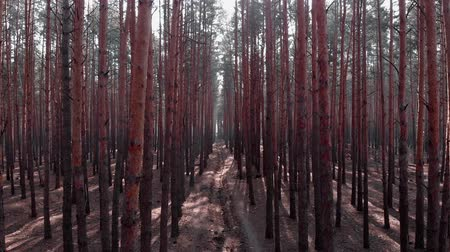 ekosistem : Flying above path among pine trees in forest with polluted area. Drone flight inside old trees.