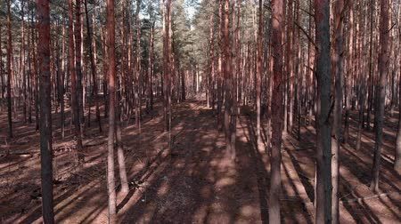 ekosistem : Flight inside pine trees forest. Drone flying among old pine trees. Aerial shot of woodland with fir trees