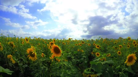 girassóis : flowering sunflowers on a background cloudy sky
