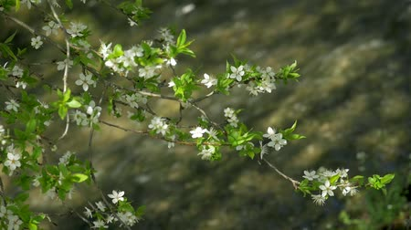 vida selvagem : blossoming tree, Spring, clean, flora, green, plant Vídeos