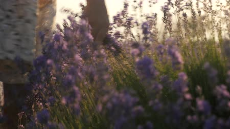 part body close-up. hand of a little girl picking flowers in a field, lavenders blossom season. bright summer sun at sunset