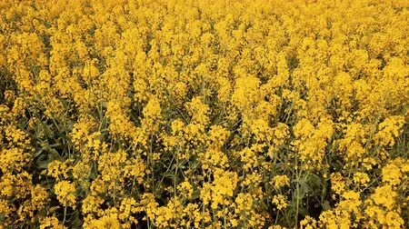 canola seeds : Low altitude flight over blooming rapeseed field. Aerial footage.