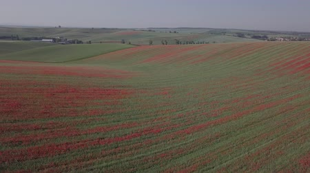 inculto : Aerial panorama of blooming red poppy flowers fields in South Moravia hills, Czech Republic at spring. Original untouched LOG format.