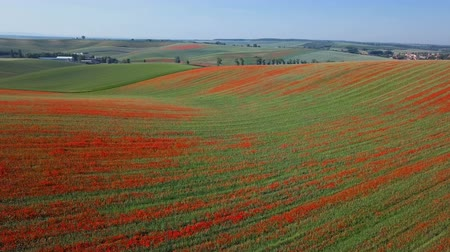 uncultivated field : Aerial panorama of blooming red poppy flowers fields in South Moravia hills, Czech Republic at spring. Stock Footage