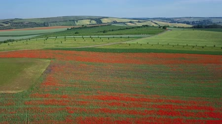 uncultivated field : Flight over of blooming red poppy flowers fields in South Moravia hills, Czech Republic at spring.