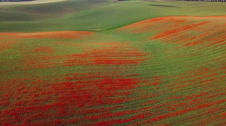 inculto : Flight over of blooming red poppy flowers fields in South Moravia hills, Czech Republic at spring.