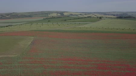 haşhaş : Flight over of blooming red poppy flowers fields in South Moravia hills, Czech Republic at spring. Original untouched LOG format. Stok Video