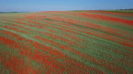 neobdělávaný : Flight over of blooming red poppy flowers fields in South Moravia hills, Czech Republic at spring.