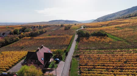 garden route : 360 degrees seamless looped aerial view of autumn Riquewihr vineyards, Alsace Wine Route, France.