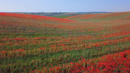 inculto : Low level flight over of blooming red poppy flowers fields in South Moravia hills, Czech Republic at spring. Vídeos