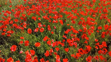 neobdělávaný : Low level flight over of blooming red poppy flowers fields in South Moravia hills, Czech Republic at spring. Dostupné videozáznamy