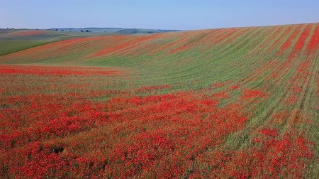 невозделанный : Low level flight over of blooming red poppy flowers fields in South Moravia hills, Czech Republic at spring. Стоковые видеозаписи