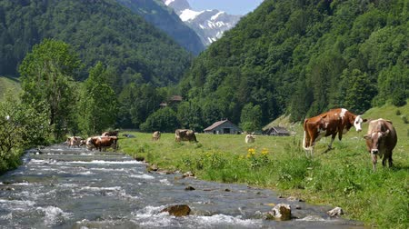 Cows grazing on alpine pasture near mountain river, Ebenalp, Canton of Appenzell, Switzerland Vídeos
