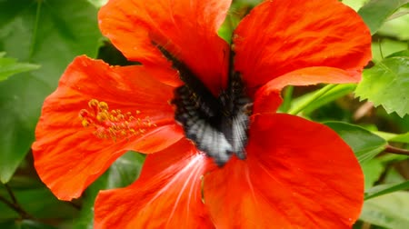 escarlate : Papilio rumanzovia butterfly on red Hibiscus flower close-up. Stock Footage