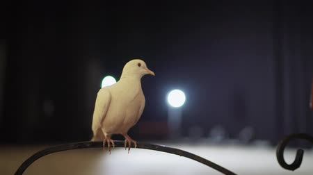 witchcraft : Trained white dove sitting on a magicians stick. Circus White Pigeon Stock Footage