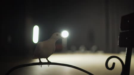 sparse : Trained white dove sitting on a magicians stick. Circus White Pigeon Stock Footage
