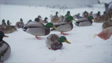 bastante : Ducks in the winter looking for food. Ducks eat in the winter on the shore. Feed the ducks. Duck flock, waiting for food, almost all look at the shore, hoping to get the desired Stock Footage