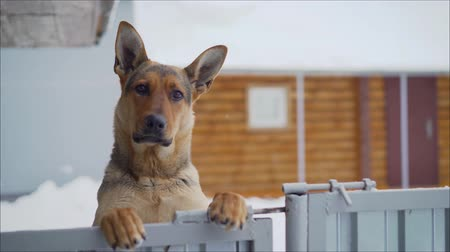 hind : German dog with a funny facial expression. Funny muzzle in the German Shepherd. German shepherd stands on its hind legs and looks. Stock Footage