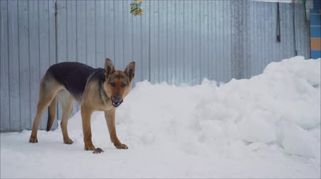 apetite : Eating Snow Dog German Shepherd. German shepherd eats in the winter in the yard. German Shepherd Dog Vídeos