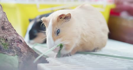 porquinho : little guinea pighaving meal by eatting grass happily Stock Footage