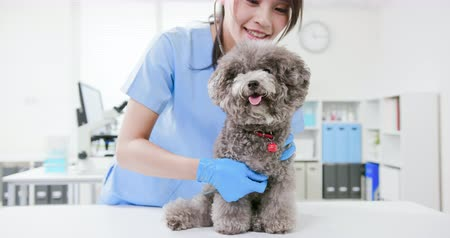 listens : young female veterinarian doctor listen to dog with stethoscope Stock Footage