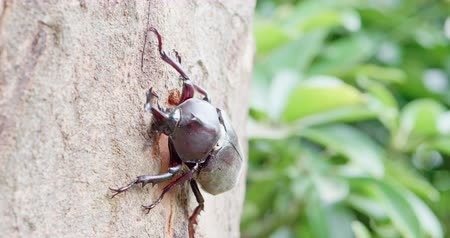 animais em extinção : unicorn beetle on the tree in the nature Stock Footage