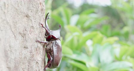 horned : unicorn beetle on the tree in the nature Stock Footage
