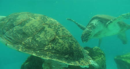 okinawa : Giant sea turtle swim around in the aquarium-location okinawa and japan