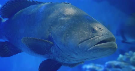 okinawa : giant fish swim around the water slowly-location okinawa and japan