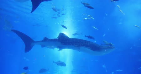 успокаивающий : numerous fish and whale shark swim around the water slowly-location okinawa and japan