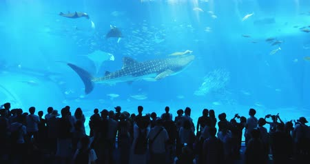 tourist silhouette : Okinawa, Japan-Aug 20, 2019: fishs and whale shark swim around the water slowly in Churaumi Aquarium Ocean Expo Park