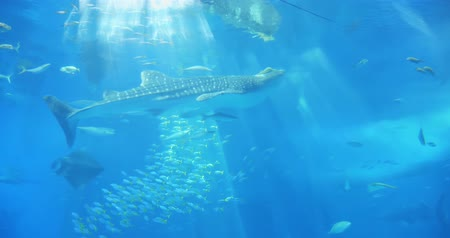 japonya : Okinawa, Japan-Aug 20, 2019: fishs and whale shark swim around the water slowly in Churaumi Aquarium and Ocean Expo Park Stok Video