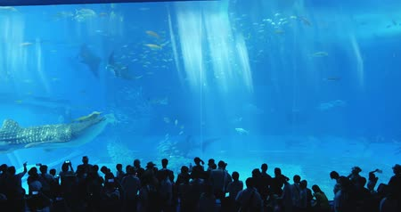 aydınlatmalı : Okinawa, Japan-Aug 20, 2019: fishs and whale shark swim around the water slowly in Churaumi Aquarium Ocean Expo Park