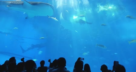 освещенный : Okinawa, Japan-Aug 20, 2019: fishs and whale shark swim around the water slowly in Churaumi Aquarium Ocean Expo Park