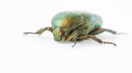 entire : Green beetle