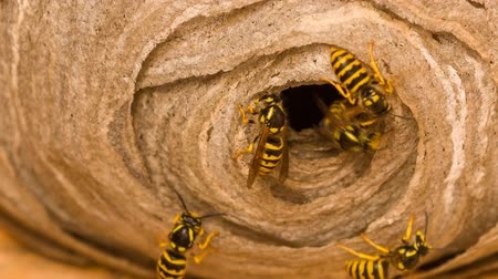 filigrana : Wasps nest