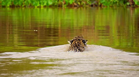 mamífero : Jaguar swimming in Pantanal wetlands river (Rear view)
