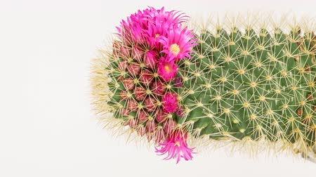 kaktusz : Time lapse of cactus with flowers Stock mozgókép